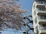 H27.3桜②